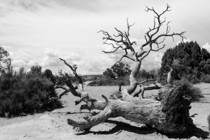 Dead tree at Arches National Park, Utah.
