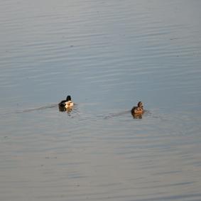 Ducks Leaving